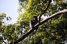 Self-satisfied Dusky Langur, after he relieved himself on me