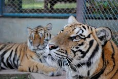 Visiting tigers (inside the cages) in Chiang Mai