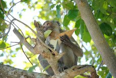 """Rhesus macaque: """"I need three hands for this meal"""""""