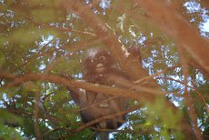 Dusky Langur, curious about us humans in his territory